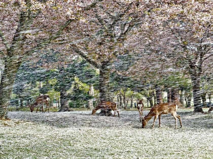 deer-blossoms-japan_53918_990x742