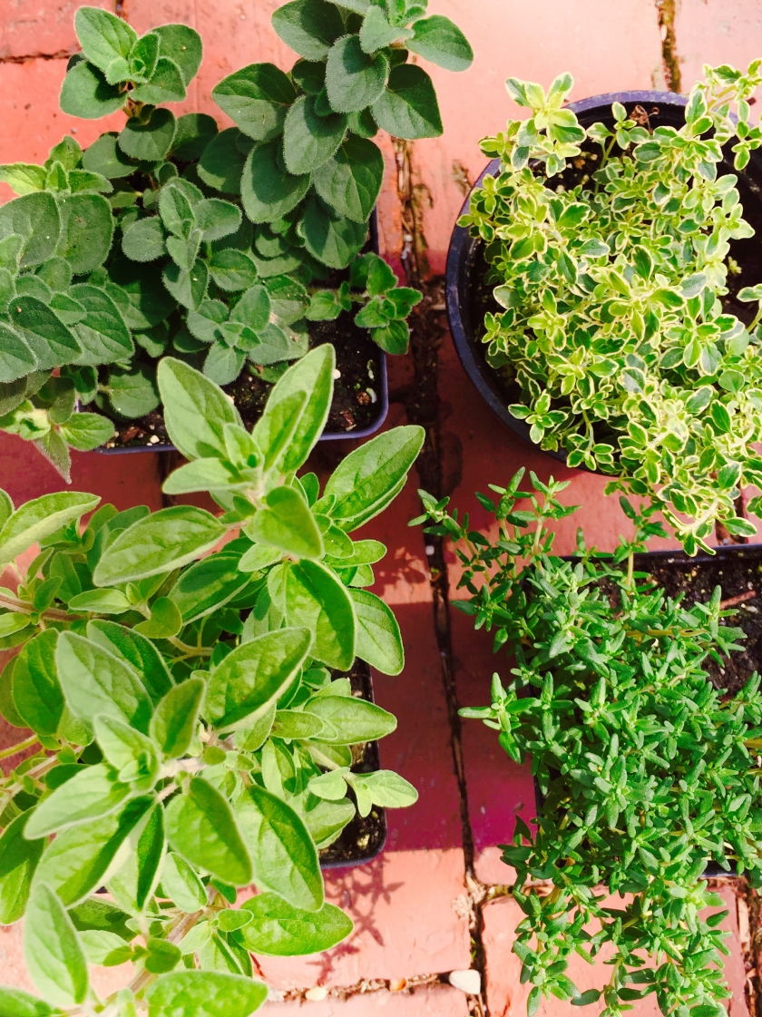 oregano and thyme are semiwoody varieties and love sun. water moderately. winter them inside in the same pot and they should sprout again next year